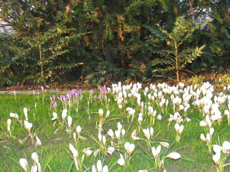 Garten mit zwiebelblumen im fr hling fertig for Gartengestaltung 200 qm
