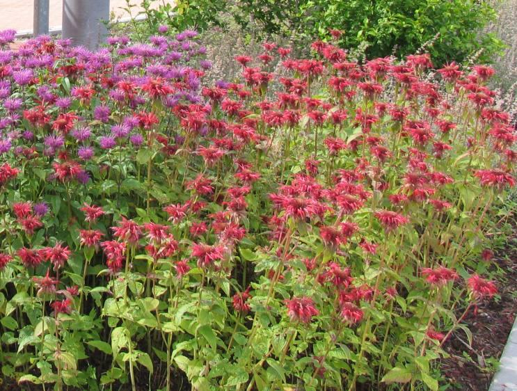 Monarda hybride cambridge scarlet indianernessel for Gartengestaltung 70 qm