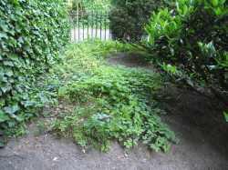 Giersch wuchert im Vorgarten
