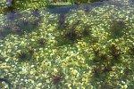 Unterwasserpflanzen Statiotes aloides