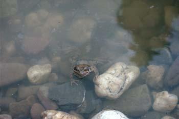 Wasserflöhe Im Teich
