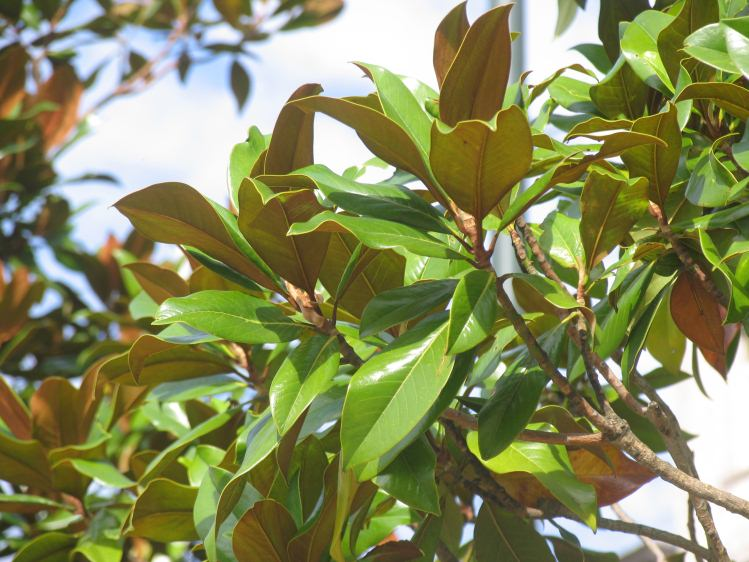 magnolia grandiflora galissoniere gro bl ttrige magnolie. Black Bedroom Furniture Sets. Home Design Ideas