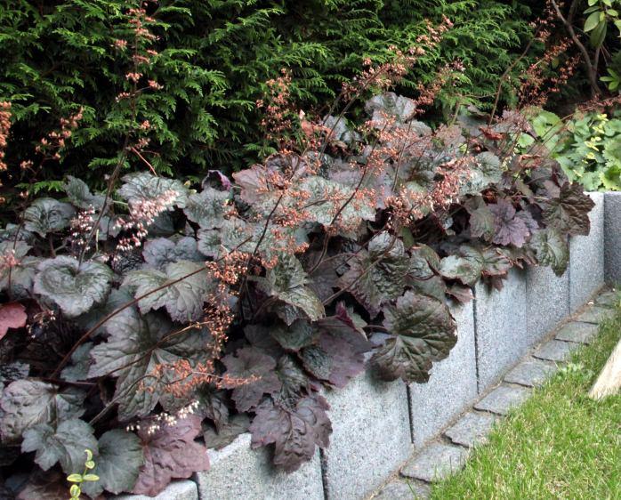 heuchera micrantha palace purple purpurgl ckchen. Black Bedroom Furniture Sets. Home Design Ideas