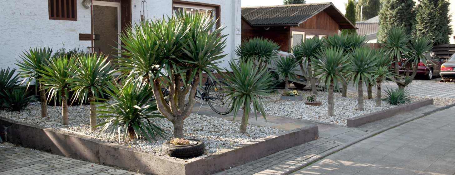 yucca filamentosa fadenlilie. Black Bedroom Furniture Sets. Home Design Ideas
