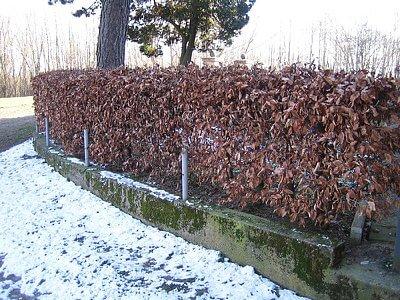 Hecke Rotbuche im Winter