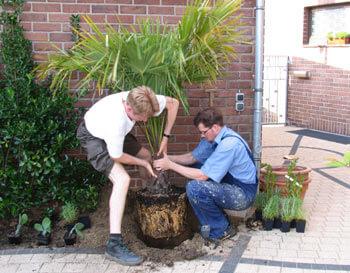 eine Palme wird von zwei Männern in ein Pflanzloch gesetzt