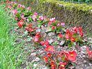 Begonien in rot und rosa