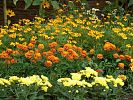 Beet mit Tagetes und Chrysanthemen