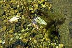 Das neue Ökosystem wird von Libellen schnell angenommen.
