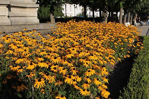 rudbeckia fulgida var sullivantii goldsturm goldsturm rudbeckie. Black Bedroom Furniture Sets. Home Design Ideas