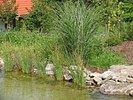 Schwimmteichrand-Bepflanzung