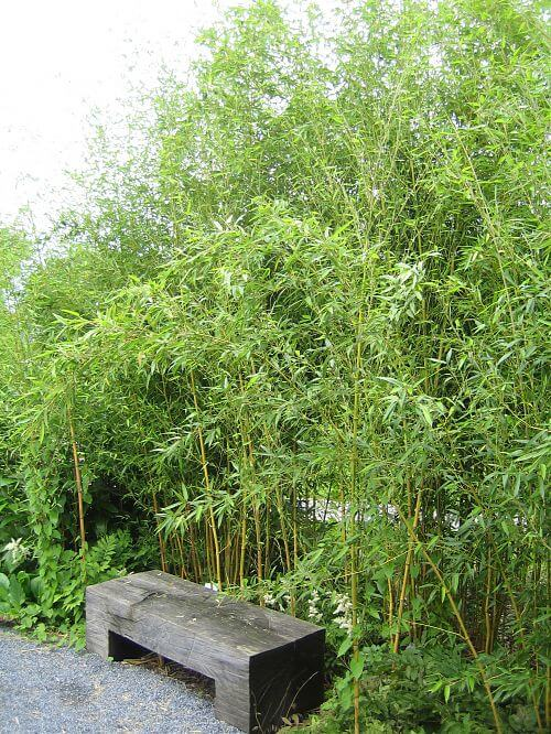 phyllostachys aureosulcata spectabilis bambus. Black Bedroom Furniture Sets. Home Design Ideas