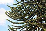 nadelförmige Zweige des Araucariaceaegewächses