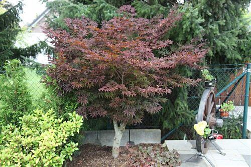 acer palmatum atropurpureum rotbl ttriger japanischer f cherahorn. Black Bedroom Furniture Sets. Home Design Ideas