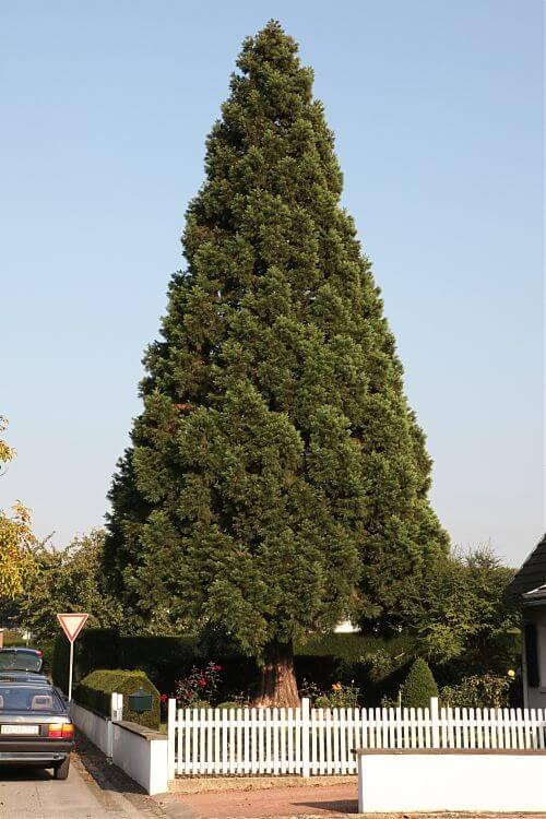 sequoiadendron giganteum mammutbaum. Black Bedroom Furniture Sets. Home Design Ideas