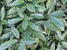 Blätter einer Akube