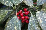 Blätter und Früchte einer Akube