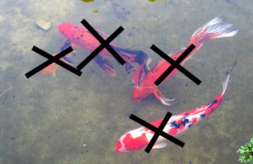 keine Fische in den Schwimmteich
