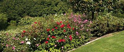 Rosen und Anemonen, gepflanzt nach Pflanzplan
