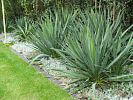 Yucca und Bodendecker